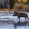 Moose on creek