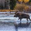 Moose on creek