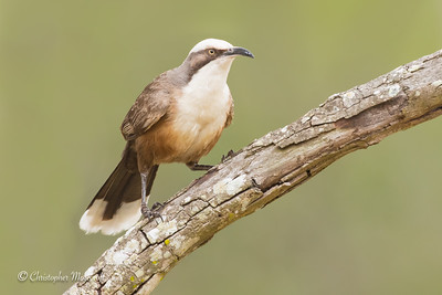 Grey-Crowned Babbler, Pomatostomus temporalis.