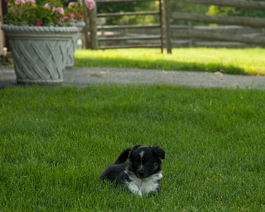 Jade x Bill puppies 6 wks old