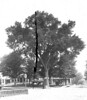 032. The Town Elm at the corner of North and Main Streets. Date: 1892. (This view and 017 appear to have been taken at the same time. either 1892 or 1895.)