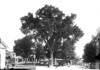 017. The Town Elm at the corner of North and Main Streets. Date: 1895. (This view and 032 appear to have been taken at the same time. either 1892 or 1895.)