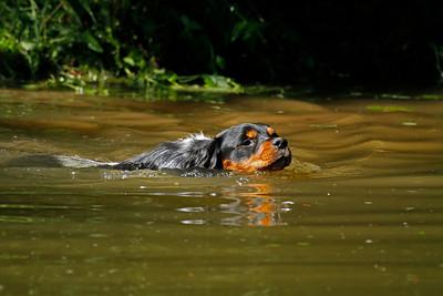 Jagdhund am Wasser, Jagd auf Ente,