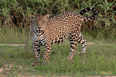 Curious Cat - jaguar
