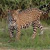 Curious Cat - jaguar
