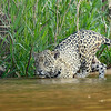Jaguar hunting from the water