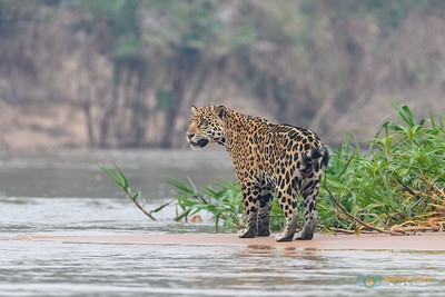 At rge river bend - Jaguar