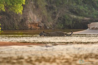 Jaguar-Pantanal-Brazil-028