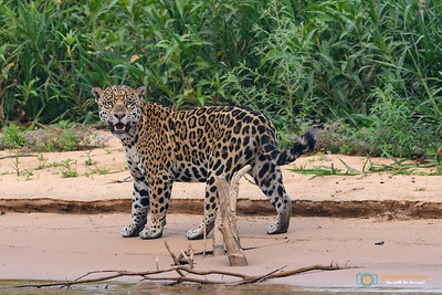 Checking Upstream - Jaguar