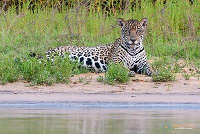 Jaguar-Pantanal-Brazil-040