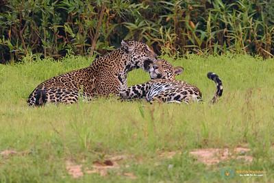 Jaguars Grooming