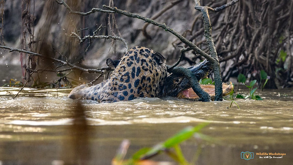 Jaguar attacking Caiman