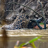 Jaguar attacking Caiman