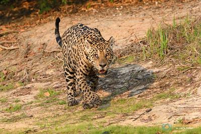 Jaguar-Pantanal-Brazil-025