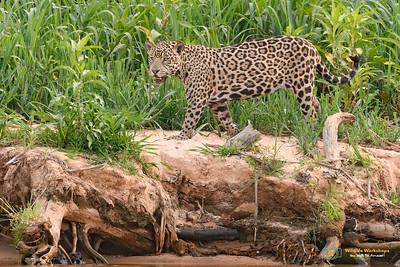 Jaguar-Pantanal-Brazil-030