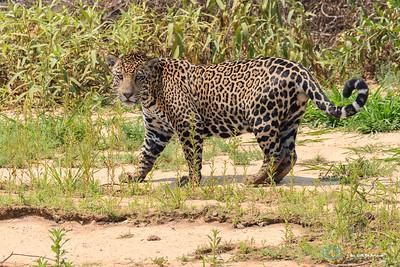 Jaguar watching the photographer.