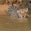 Jaguar enters the river
