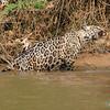 A quick after a swim, Jaguar