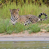 In the grass Jaguar