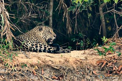 Jaguar Resting but alert on the river bank.