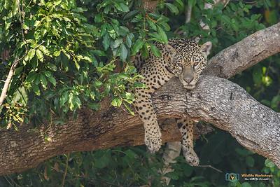 Jaguar in a Tree!