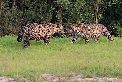 Jaguars greeting one another