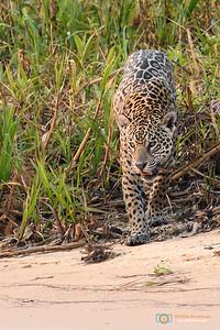 Wary Jaguar approaching the river