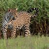 Setting Sun - Jaguar