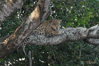 I see you - Jaguar in a Tree
