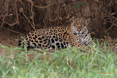 Stare Down - Jaguar