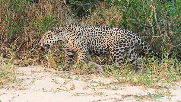Jaguar hunting along the river