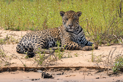 Jaguar along the river - Pantanal Brazil
