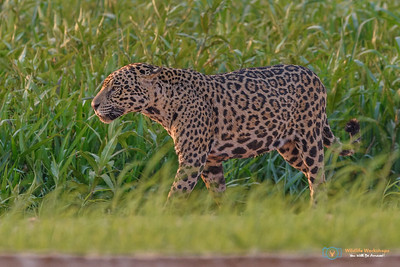 Agressive Jaguar