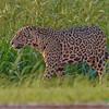Agressive Jaguar