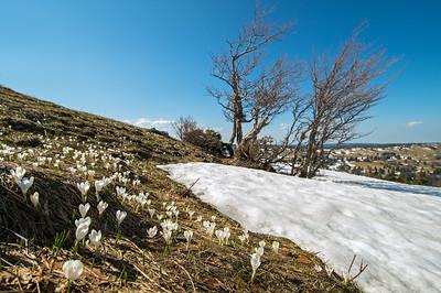 Alpen-Krokus