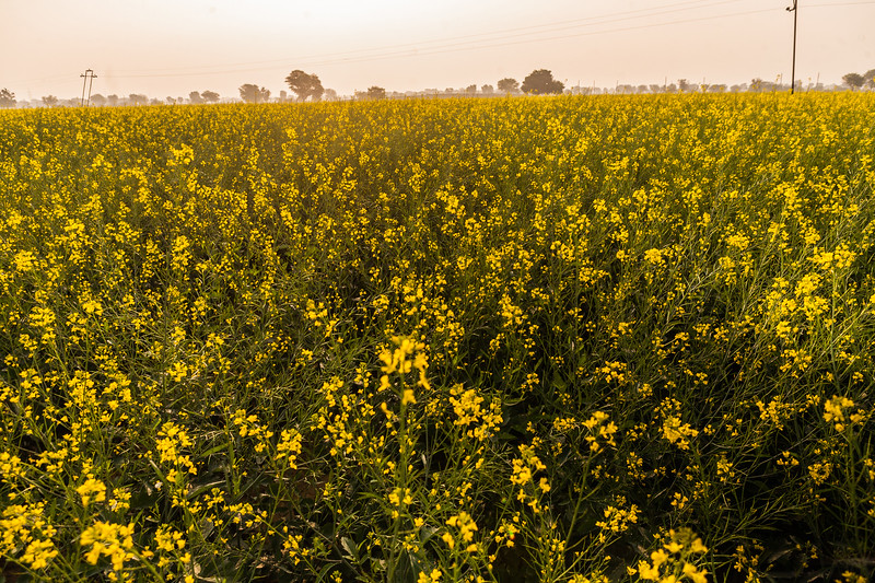 Mustard fields on the way to Jaipura Garh, near Jaipur, Rajasthan, India
