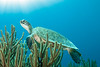 Green Sea Turtle, Bonaire