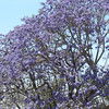 A Lovely Jacaranda Tree In Full Bloom