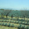 This Is The Largest Blue Agave Plant Producing Area In The World