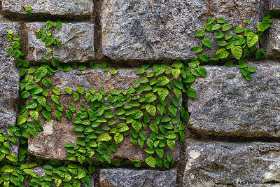 Vines Adorn a Stonewall in Port Antonio, Jamaica