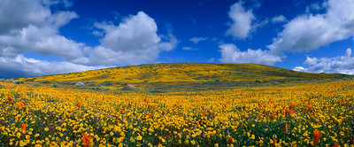 Poppy Reserve California Spring Panoramic