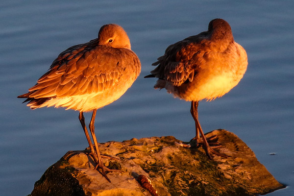 Black Tailed Godwits