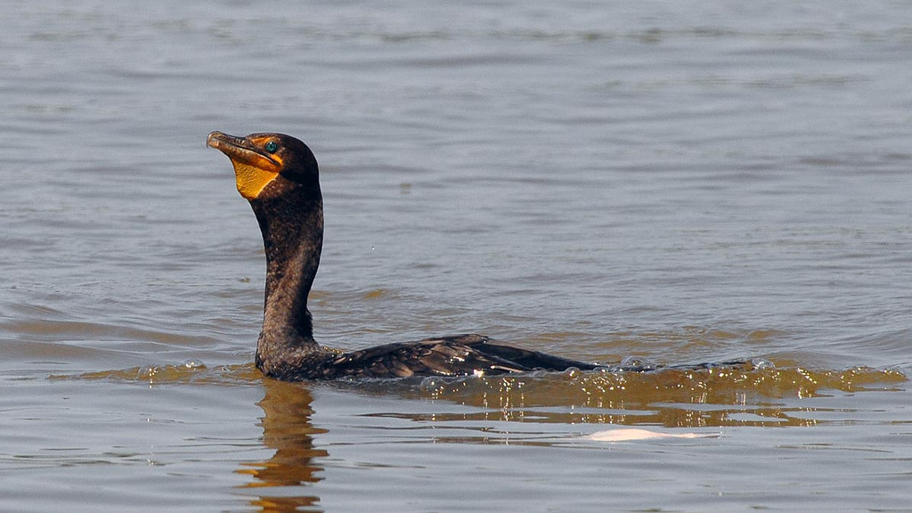 Not wanting to be outdone, a Cormorant casually eyes a fish...