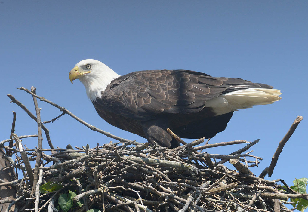 An eagle finishing up a meal on this nest.
