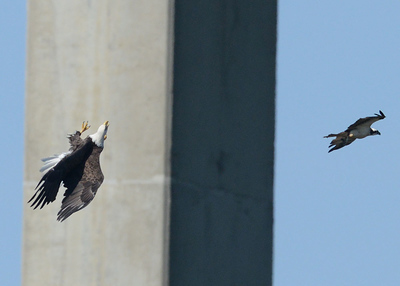 A few minutes later, a Bald Eagle is knocked off balance in a mid-air collision with a different osprey in the shadows of the I-295 suspension bridge near Richmond.  Fortunately,...