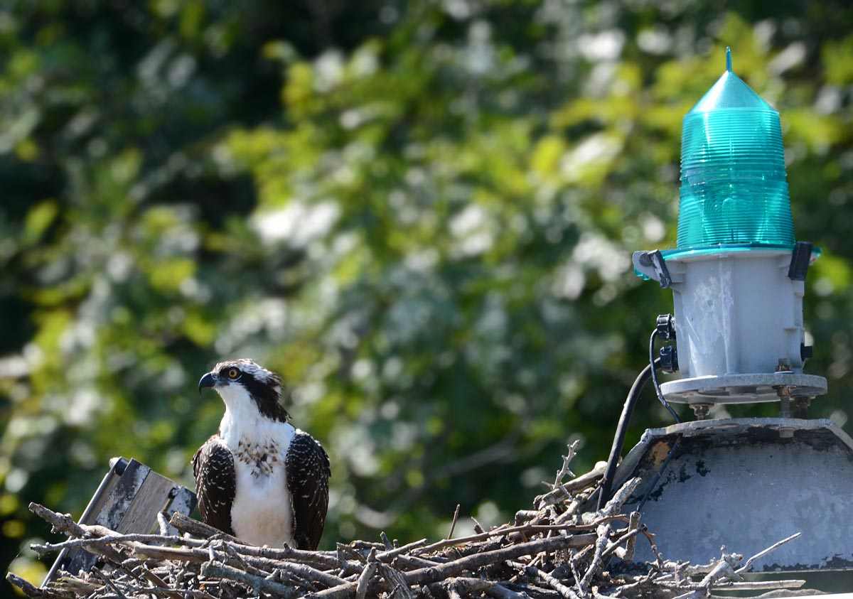 A juvenile Osprey waits at home...