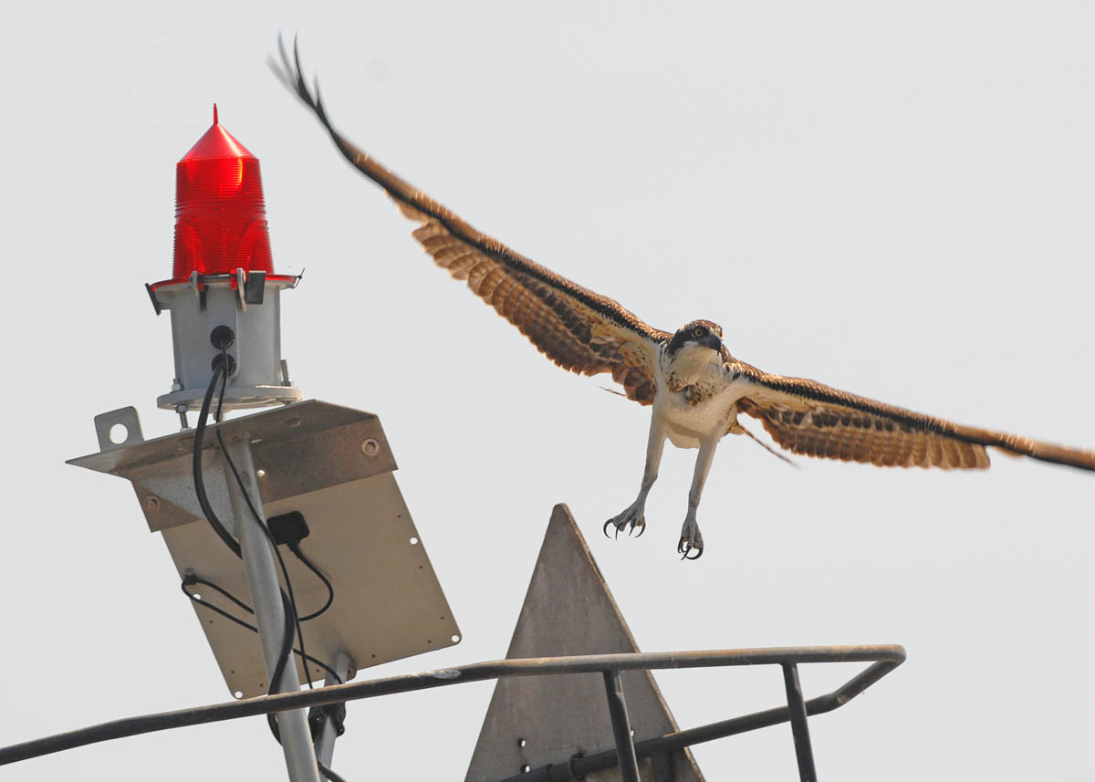An osprey lifts off from a channel marker...