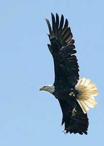 An eagle taking off from an overhead tree perch.