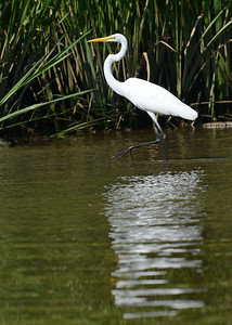 Great Egret in the shallows