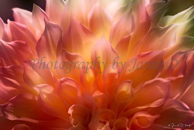 Dazzling Dahlia